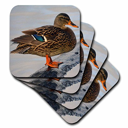 3drose-female-mallard-at-crystal-springs-rhododendron-garden-oregon-usa-ceramic-tile-coasters-set-of