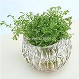 100 semi / bag bonsai Erba, falsi semi bonsai, i semi di trifoglio crescono più velocemente