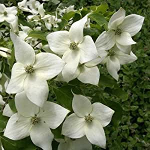 Cornouiller, Cornus Kousa var. Chinensis Great Star en pot de 1L