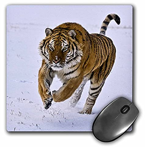 3dRose LLC 8 x 8 x 0.25 Inches Mouse Pad, Siberian Tiger Charges Through The Snow (mp_11371_1)