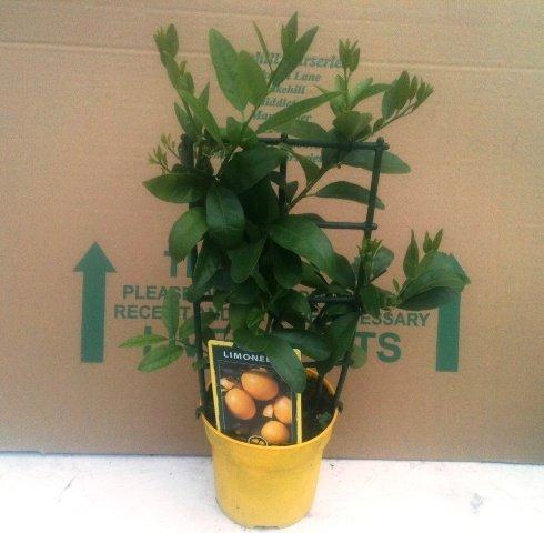 citrus-lemon-tree-limonella-40cm-tall-great-gift-idea-present
