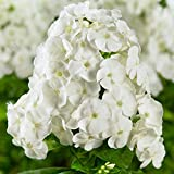 Kölle Flammenblume Adessa® White - Phlox paniculata Adessa® White - weiße Blüten mit zartem Duft - Gartenstaude im 11 cm Topf - frisch aus der Gärtnerei - Pflanzen Gartenstaude