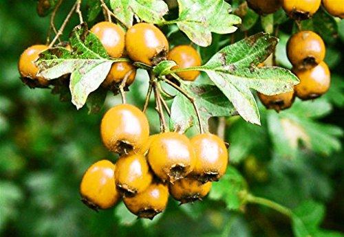 Pianta da frutto ALBERO DI AZZERUOLO GIALLO ROMAGNOLO A RADICE NUDA - 1 METRO pianta vera