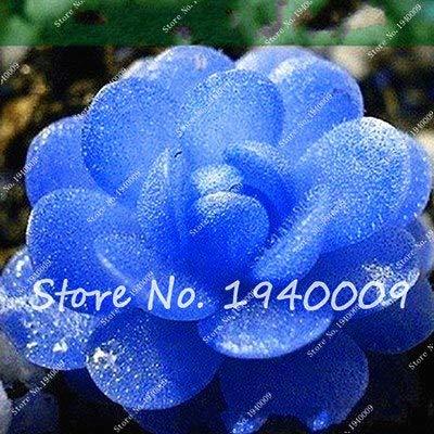 Plentree Samen Paket: 100Pcs Amazon Seltene Bonsai Garden Diy Blumentopf Bonsai Sementes Indoor s SeedsFlower Startseite s Saftige zum Verkauf: 16
