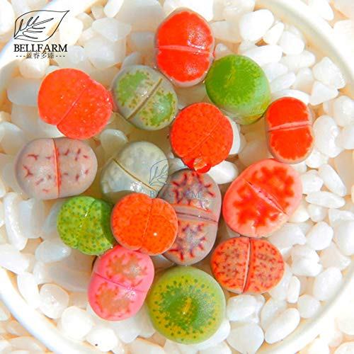 Go Garden Bellfarm Bonsai mixte 10 Types de Lithops Rose Rouge Rose Vert Gris Pierres Vivantes coloré Succulent haute Germination 10pcs / Pack