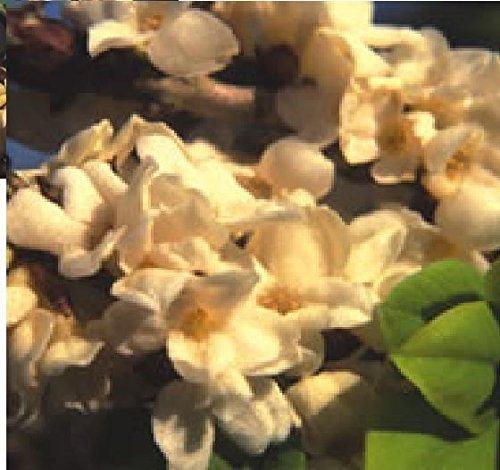 Blumen Echter Seidelbast Alba 40 Samen, Groß packung