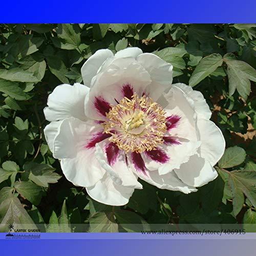 Casavidas BELLFARM Bonsai Rare & # 39; Hua Ban & # 39; Weiße Pfingstrose Blume mit rotem Fleck St Lichts Duftende Blumen Hohe Germination -5pcs / pack