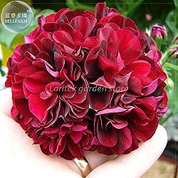 Pinkdose2018 Heißer Verkauf Davitu Geranium 'PAC Tommy' Dark Red Blumensamen, Professional Pack, 10 Samen, Große Blüten Efeublättrige Geranie E4220