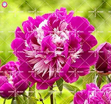 10 pcs Double Blooms Pivoine Seeds Heirloom Seeds Sorbet robuste Pivoine rouge Bonsai Pot de fleurs Arbre pivoine Jardin Graines Plante 13