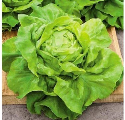 Wintersalat – Salat Buttercrunch Butterhead – Salate – 500 Samen