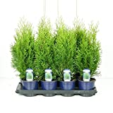 Blumen-Senf Thuja occidentalis Smaragd 50-60 cm