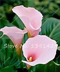 Idea Regalo - 200 semi di Calla, Calla Bulbi, Camera Fiori Rhizome Zantedeschia aethiopica, Bonsai Piante d'appartamento giardino della casa Pianta in vaso 19