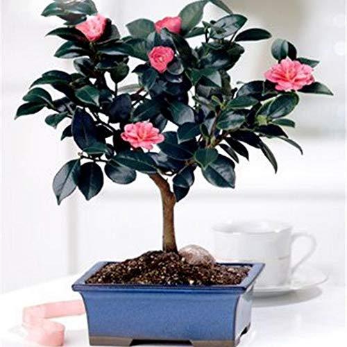 Cioler 10 Pezzi Semi di albero cinese del tè verde del seme della camelia del bonsai delle piante fresche del giardino verde
