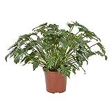 BOTANICLY | Pianta da interno | Philodendron Xanadu | 70 cm