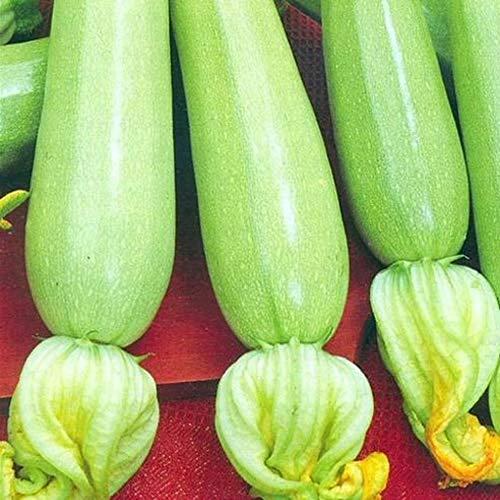 Eden-blumen Bio Weiße Zucchini Samen Gemüse Saatgut Bio Gemüse Zucchinisamen Orelia F1 Gemüsesamen Mehrjährig Bohnen Samen Für Garten