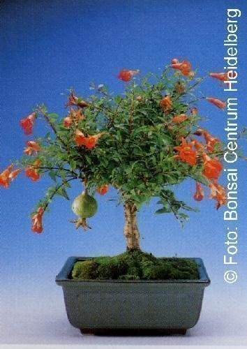 Bonsai & Tropica - Grenadier nain (Punica granatum nana) - 50 graines