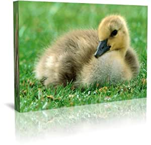 Baby Duckling in Grass Wildlife Canvas Print Framed 30 x 20 Inch