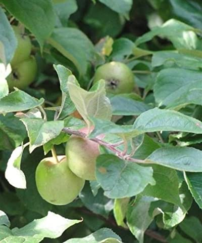Trees By Post Crab Apple Trees (Malus sylvestris) x