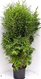Bambus, Höhe: 180-190 cm, Fargesia Jumbo, winterharte Pflanze für den Garten + Dünger