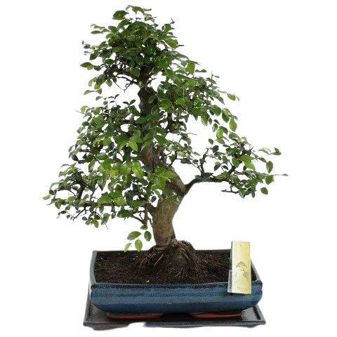 FloraStore - Bonsai Zelkova pot 40 cm (1x), Plante d'Intérieur