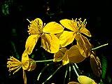 Asklepios-seeds - 5000 Samen Chelidonium majus, Schöllkraut