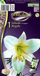 Lilien, Lilium Regale, weiss