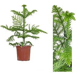 """Inter Flower -Zimmertanne,Araukarie""""Heterophylla"""",Norfolktanne 40-50cm+/-"""