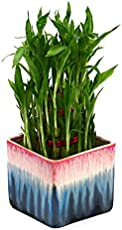 Exotic Green Bamboo In Ceramic Pot Plant Rainbow Black Pot