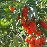 Fash Lady Heißer Verkauf 300 GOJIBERRY Samen, Wolfberry Gou-Gi-zi, Ehe-Rebe, Lycium Barbarum Goji Berry, Strauch Samen (essbare Frucht, schnelle Growi