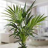Kentia Palme 100/130cm - 1 pflanze