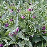 SANHOC Samen-Paket: Frische 200 Samen -Seeds -