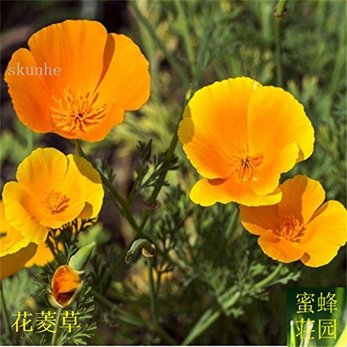 Vente d'été réguliers embellissant exclus limité dans le temps Tempéré Balcon Petit Mini semences Importations Jinye graines de ginseng 100 2