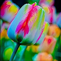 TOPmountain Semillas de flores de tulipán 100pcs Bulbos de tulipán mezclado Jardín Balcón Plantas Semillas Decoración