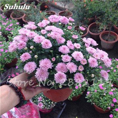120 pcs graines graines de fleurs Daisy strawberry marguerite, fleurs de saison graines chrysanthème, Bonasi beau balcon fleuri coloré 15