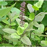 Plantsworld Krishna Tulsi Live Plant