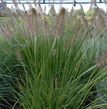 Lampenputzergras 'Compressum' (Pennisetum alopecuroides 'Compressum') im Topf von Gartengruen24 - Du und dein Garten