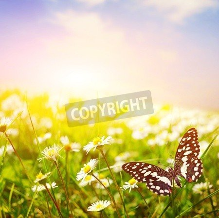 "Alu-Dibond-Bild 30 x 30 cm: ""Butterfly on a daisy field"", Bild auf Alu-Dibond"