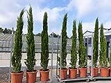 290 cm Mittelmeerzypresse Cupressus Semper. 'Totem' Toskana Zypressen Zypresse