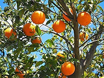 vegherb New Tangerine Mandarine Citrus Fruit Tree 20+ Seeds -