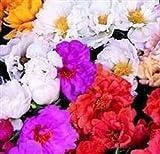 50+ MOSS ROSE MIX/PORTULACA MARGARITA/GESCHÄFTS SEEDS FLOWER/Bodendecker