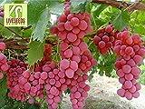 RWS Semillas en vivo - las uvas Red Globe dulce gigante Live 10 semillas
