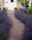 Kisshes Seedhouse - Graines de Lavandes de Grasse bleues grainé fleur jardin Lavandula Grosso Plantes Vivace
