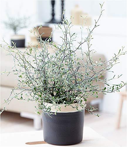 BALDUR-Garten Maori® Corokia cotoneaster