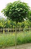 Kugel-Trompetenbaum, Catalpa bignonioides 'Nana', 180-190 cm + Dünger