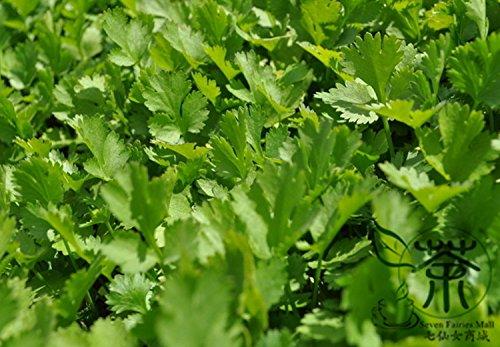 Graines annuelles Coriandre Pour 400pcs Plantation, concentrés Flavor Coriandre Semences potagères, à croissance rapide Seeds Coriandrum sativum