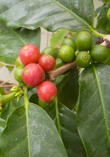 TROPICA - Arabica-Hochlandkaffee ( Coffea arabica ) - 10 Samen