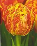 Gefüllte Päonienblütige Tulpen Monte Flame Tulpenzwiebeln (20 Blumenzwiebeln)
