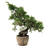 Chinesischer Wacholder, Juniperus chinensis, Outdoor-Bonsai, 19 Jahre, Höhe 14 cm