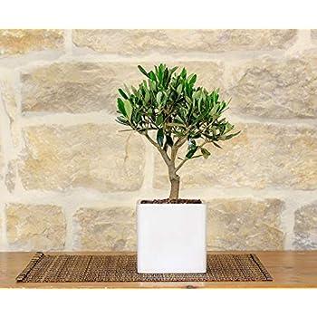 Bonsai von Olivenbaum im weißen quadratischen Vase