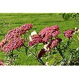 Achillea millefolium 'Lansdorferglut', aka Yarrow: a garden tested, hardy perennial plant cultivar supplied in a half litre pot